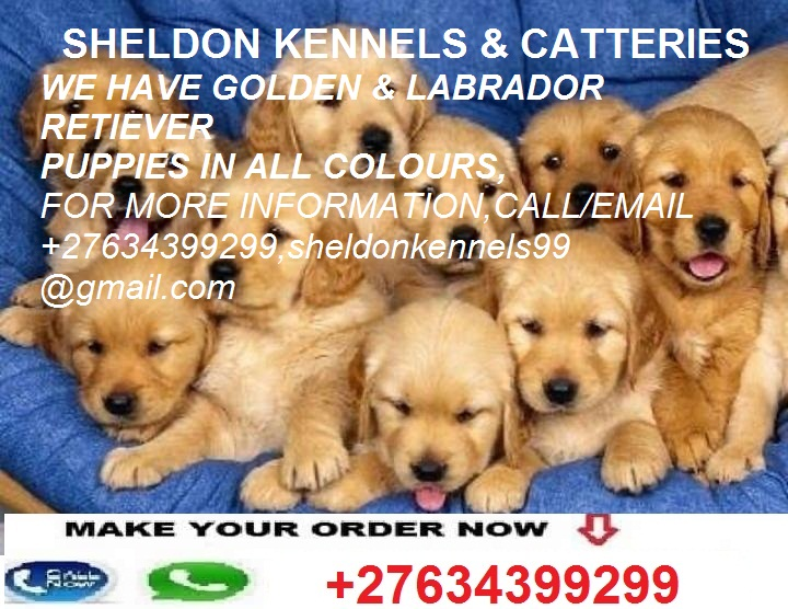 GOLDEN(LABRADOR) RETRIEVER PUPPIES FOR SALE+27634399299