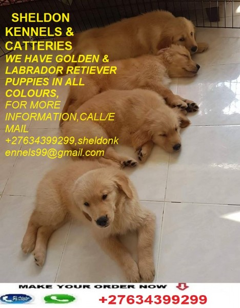 GOLDEN (LABRADOR) RETRIEVER PUPPIES FOR SALE+27634399299